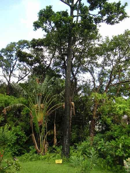 свежие серое дерево африки википедия рамках курса