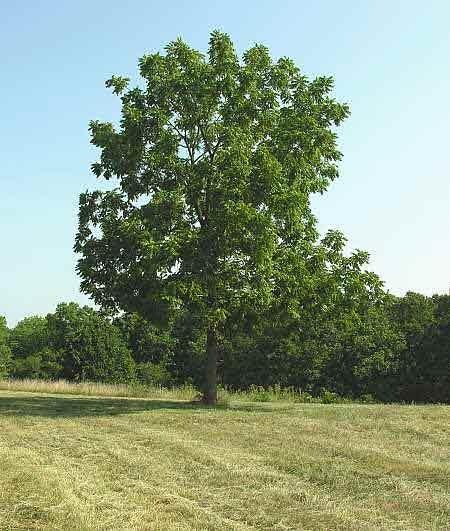 Дерево как выглядит осина дерево фото
