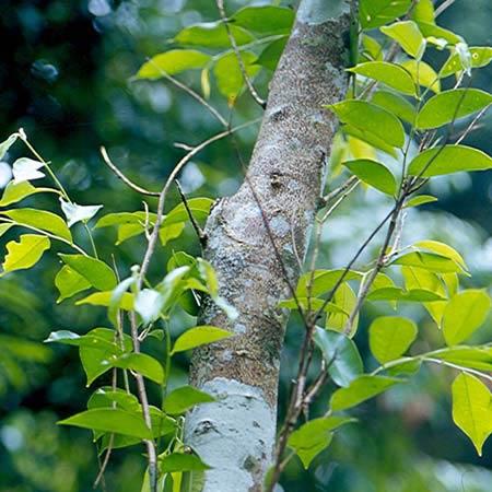 Секвойя дерево сандаловое дерево
